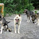 Wildthingz Dog Mushing, June 2016