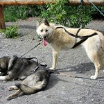 After the adventure, Wildthingz Dog Mushing, June 2016