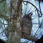 Stygian Owl - From Birding Tour at Mountain Pine Ridge Forest Reserve