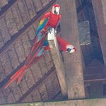 Resident Macaws in the rafters