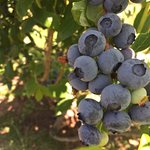 Yummy bunches of blueberries!