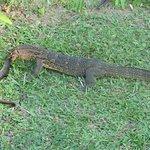 Waran hat einen Aal aus dem Teich gefangen
