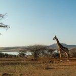 giraffe in de namiddag zon