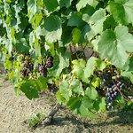 Foto de Whitecliff Vineyard & Winery