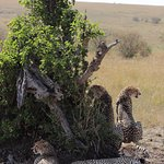 Fabulously photogenic cheetahs on our drive in the Porini Mara Conservancy