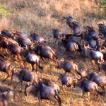 wildebeest running around