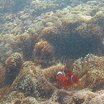 Clown fish off Bali Shangrila beach (sister resort, free shuttle bus)