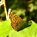 Silver-washed fritillary .