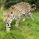 The new jaguar girl called Sophia, looking very beautiful