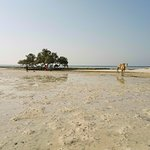 mangrove tree and camels