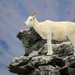 One of the Dall Sheep seen at the top.