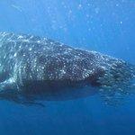 Whale shark seen during the trip