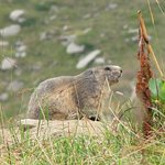 les marmottes sifflent