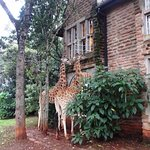 Feeding giraffe treats from Helen Suite windows, Garden Manor,