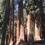 A beautiful sequoia grove