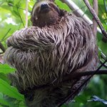 Three-toed sloth beside the trail to the waterfalls