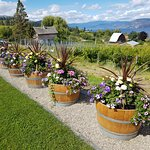 Neatly arrayed wine barrels bursting with colourful flowers.
