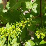 Each grape berry contains 1 - 4 seeds.