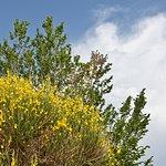 La vegetazione naturale -Ginestra