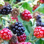 blackberries on the vine
