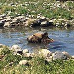 Montana Grizzly Encounter Foto