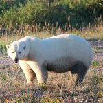 One of the polar bears we saw.