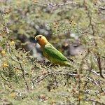 Parakeet at Eagle Beach