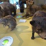 wombat en andere australische buideldieren;Naturalis biodiversity centre