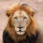 One of the Lions on a Game Drive - I called him ATTITUDE BOY, check those Eyes.