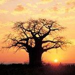 Bantu explorers and Safaris: Sunset view of thr baobab tree
