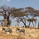Bantu explorers and Safaris: Zabra all around at Tarangire National Park