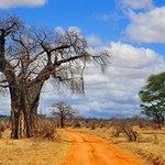 Bantu explorers and Safaris: Famous tree at Tarangire National Park.