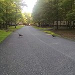 Turkeys crossing the road at SOUTH