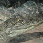 Aligators immobiles