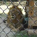 Lion à Wooten's