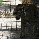 Deux tigres dans une chaleur torride