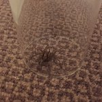 Huge spider found in the room
