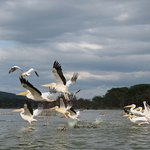 Pelicans flying away from us as we got close in our boat in Lake Oloiden