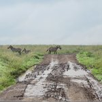 Zebra crossing (har har) at Nairobi National Park