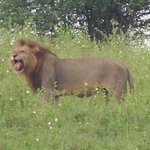 A lion yawning at Nairobi National Park