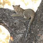 Leopards at Londolozi
