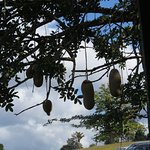 Sausage tree in the gardens