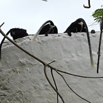 colobus enjoying a drink at our water tanks