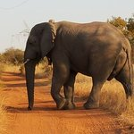 Elephant - Game drive