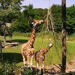 Giraffen knabbern an trockenen Ästen