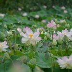 le lac des lotus est à voir
