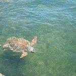 Loggerhead turtles at Agostoli harbour.
