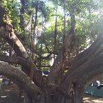 Banyan Tree Park Foto