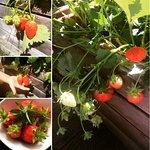 Fragole - Erbeeren - Strawberries