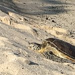 Turtles nesting on the beach.
